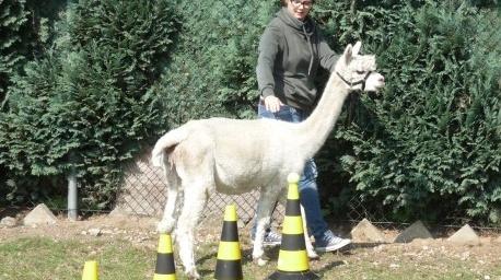 Alpacagility en lachyoga