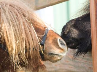 Pony's en Pistolets