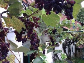 de-zoete-kastanje-druivenstruik-773x1030.jpg