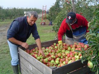 Appelpluk-2005-Ismail-man-leggen-appels-goed.jpg