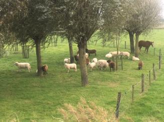 foto van schapen en paard Domein Rietvelde.jpg