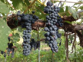 blauwe druiven.png