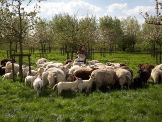kudde schapen Domein Rietvelde.jpg
